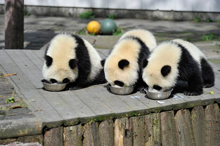 https://tved-prod.adobecqms.net/http://i.muyinteresante.com.mx/dam/muy-vision/15/07/panda-daycare-nursery-chengdu-research-base-breeding-9.jpg.imgo.jpg