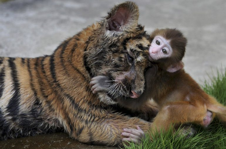 https://dam.tbg.com.mx/http://i.muyinteresante.com.mx/dam/muy-vision/15/10/14/a-tiger-cub-and-a-baby-monkey-pal-around-at-a-zoo-in-china.jpg.imgo.jpg
