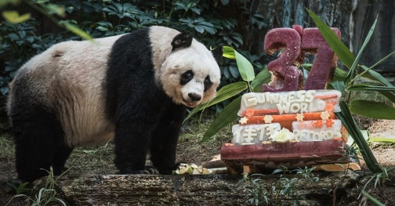 https://dam.tbg.com.mx/http://i.muyinteresante.com.mx/dam/naturaleza/15/07/worlds-olderst-panda-celebrates-37th-birthday-raw__880.jpg.imgo.jpg
