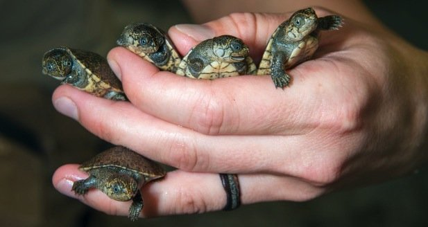https://tved-prod.adobecqms.net/http://i.muyinteresante.com.mx/dam/naturaleza/15/09/Madagascar-Big-headed-Turtle-Babies-2015-0002-9042-620x414.jpg.imgo.jpg