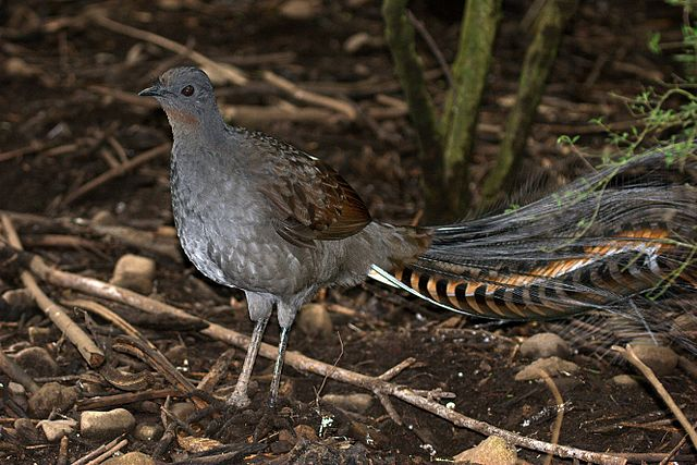 https://tved-prod.adobecqms.net/http://i.muyinteresante.com.mx/dam/video/14/12/CSIRO_ScienceImage_10356_Superb_Lyrebird.jpg.imgo.jpg