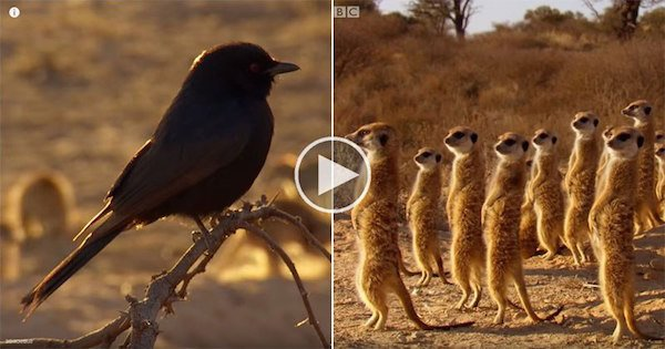https://dam.tbg.com.mx/http://i.muyinteresante.com.mx/dam/video/16/04/4/clever-bird-tricks-meerkats-into-hunting-for-him.jpg.imgo.jpg