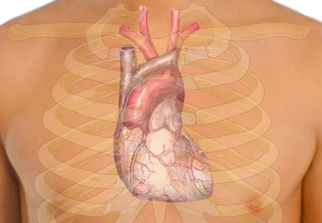 https://dam.tbg.com.mx/http://i.muyinteresante.com.mx/dam/preguntas-y-respuestas/15/04/640px-Surface_anatomy_of_the_heart.png/jcr:content/renditions/original